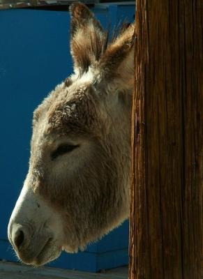 """Contra la extinción del burro... """"Platero y yo"""""""